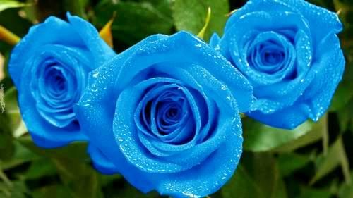 Кому и когда дарят синие розы