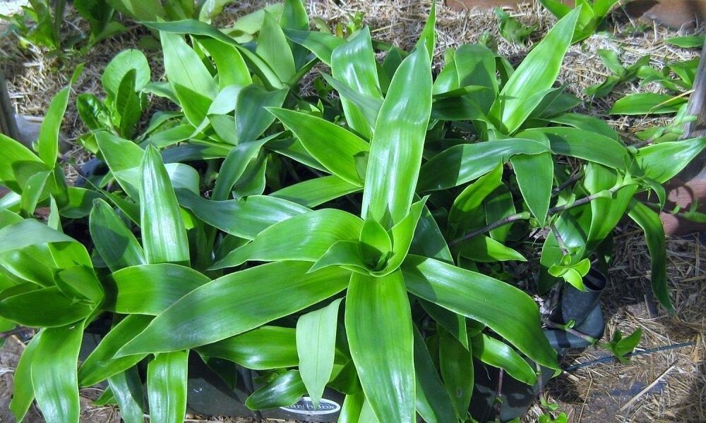 Растение золотой ус: лечебные свойства